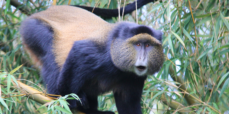 3 Day watch gorillas in Rwanda, Visit Dian Fossey Tombs & Golden monkey trekking